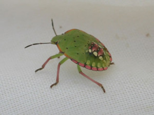 Cover photo for Treating Stink Bugs in Late Soybeans