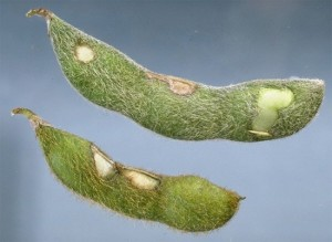 Cover photo for Finishing Up Soybean Insects- Stink Bugs and Bean Leaf Beetle