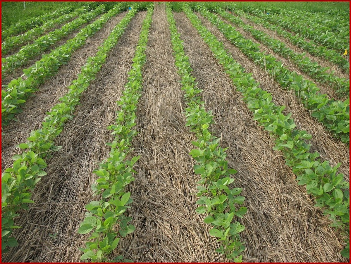Image of soybeans