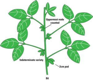 Soybean plant with small pods