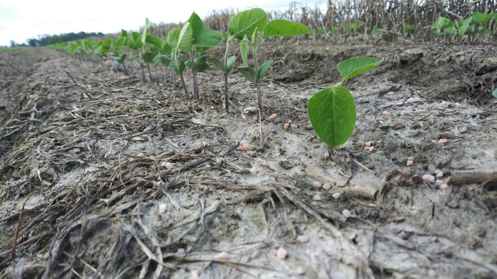 Soybean field with broadcast potassium fertilizer