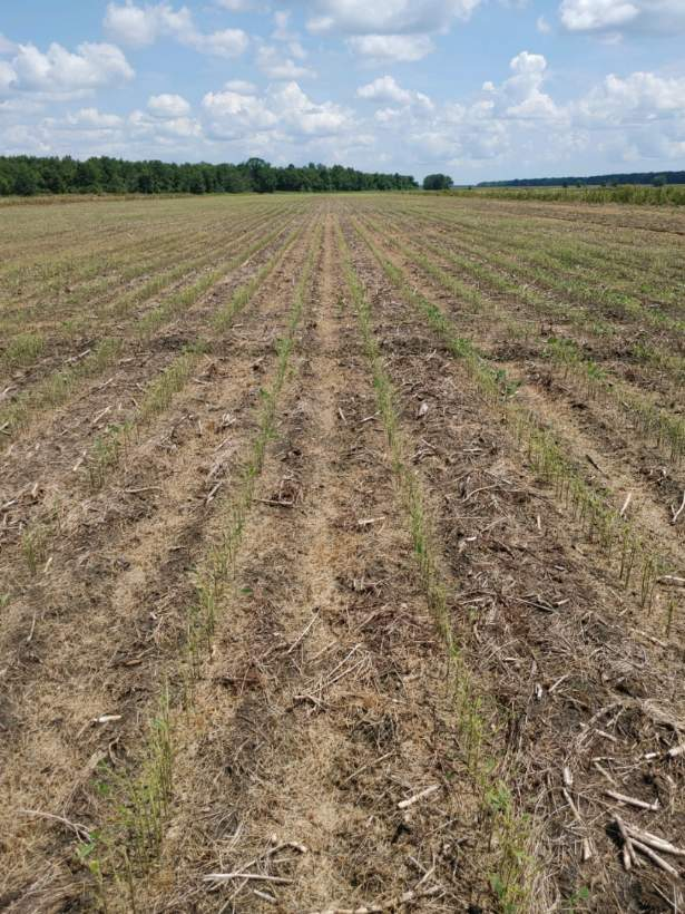 Field of vegetative-stage soybean defoliated from fall armyworm
